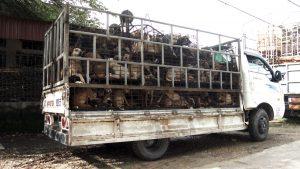 每辆卡车运送超过一百条狗