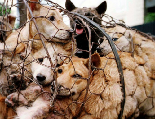 CHINA: How it was a political perversion, not culture, that led to the Dog Meat Trade as we know it.