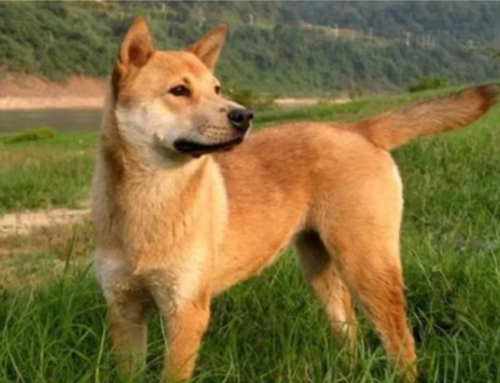 Strict Canine Regulation in Chengdu, China — 22 Dog Breeds Banned