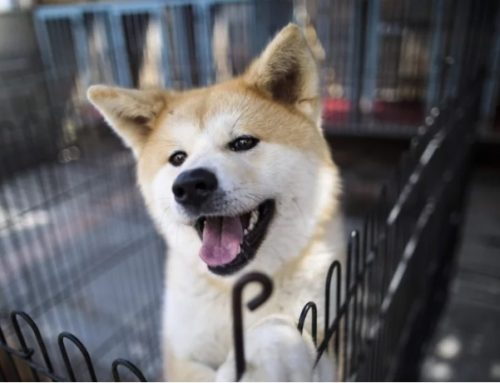 [SCMP] New law set to pass in the US Congress should give the impetus to end the slaughter of dogs for food worldwide